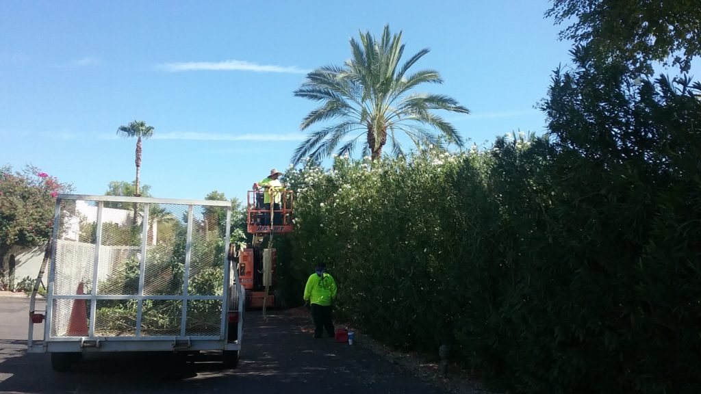 Trimming the Oleanders
