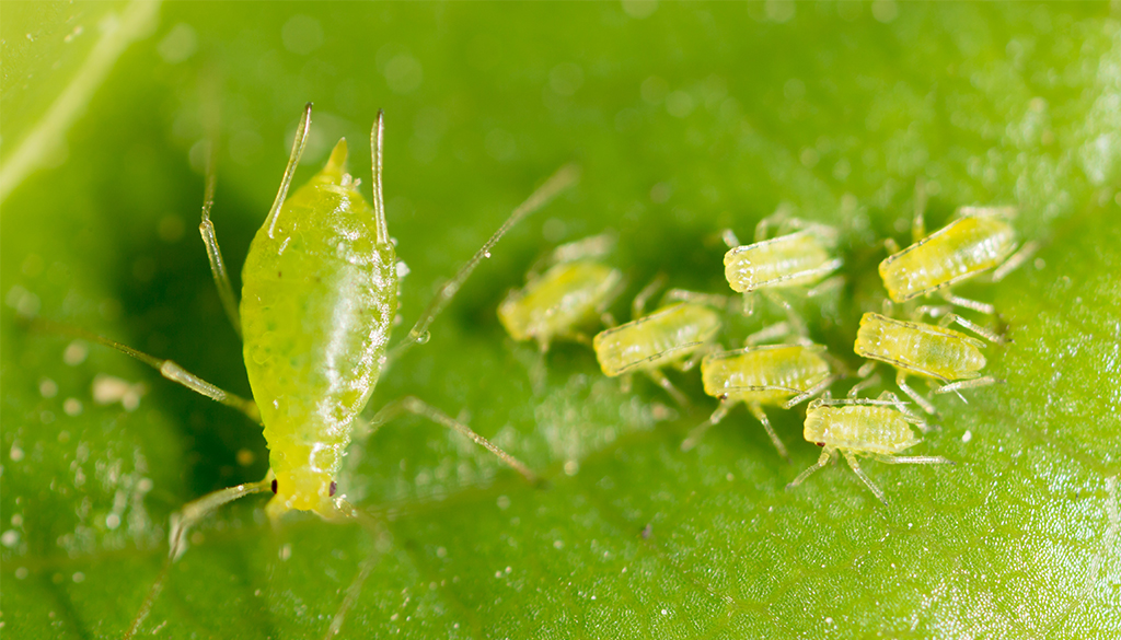 Aphids Blog