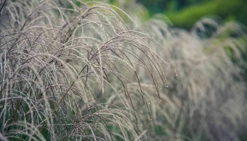 Ornamental Grasses Image